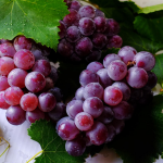 do grapes make you gain weight